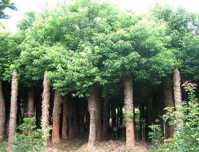 湖北省荆州市八岭山林场育林苗圃