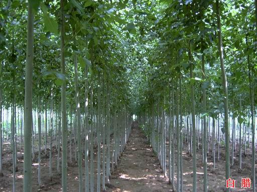 河南最大的苗木基地