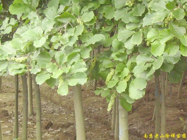 供应南京白玉兰等多种绿化苗木