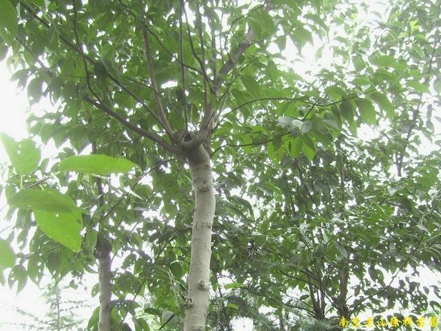 供应南京杜仲等多种绿化苗木