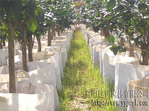 湖南省目前最大的茶花产业化生产基地