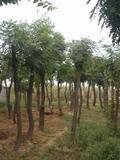 15和18公分栾树