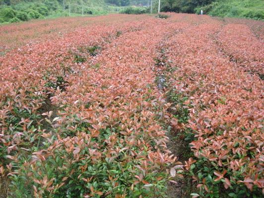 大量低价出售金叶女贞、红叶石楠、月季