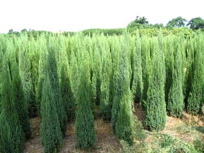 大量出售国槐苗、白蜡苗、丝棉木小苗、平枝小苗