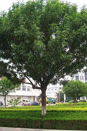 专供15-18公分白蜡等大规格绿化乔木