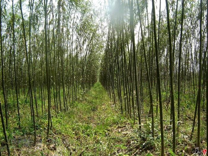 山东速生柳小苗价格,种植基地,批发商,供应商,天锐苗木