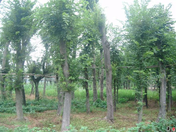 百度花木-榉树