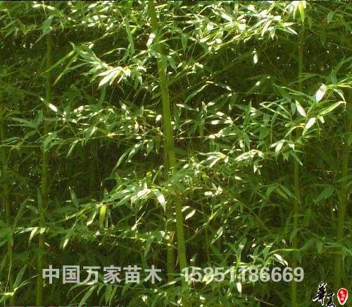 供应各种竹子