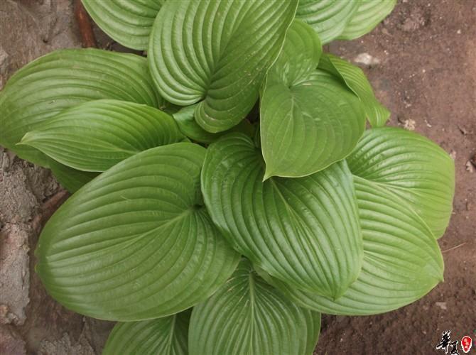 绿芽白花玉簪