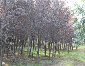 苗木供应红叶李
