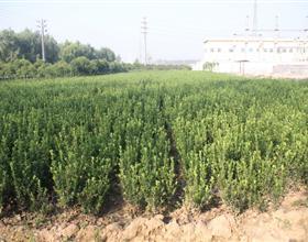 大量供应黄杨苗