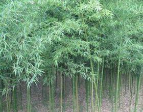 河南竹子价格,河南竹子基地,河南竹子苗圃,河南竹子产地,哪里有竹子卖