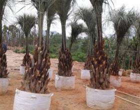 福建布迪椰子价格 漳州马口华盛顿棕榈 2013绿化苗木价格