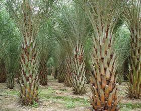 福建中东海枣价格 漳州银海枣绿化苗木 棕榈风景行道树