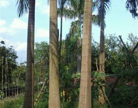 福建大王椰子哪里有 漳州大王椰子价格 马口棕榈基地绿化苗木