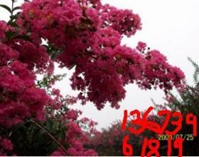 预约美国大红花紫薇玫瑰红紫薇花期展