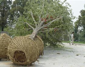 专业对外出售银杏树,质量第一,价格优惠!
