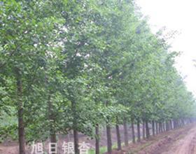 本场引进好树种,树形好,易成活,欢迎广大客户咨询!