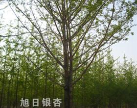 江苏省邳州旭日银杏苗圃场供应银杏实生树、嫁接树