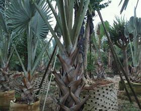 福建霸王棕价格 图片 华盛顿棕榈种植技术2013绿化苗木