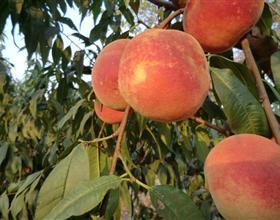桃树苗新品种