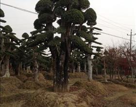 湖南绿化苗木花木造型榆树金叶榆湖南浏阳花木榆树造型金叶榆