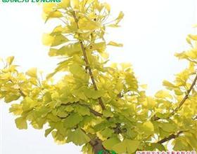 金叶银杏 三季金黄