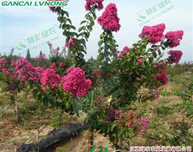 本基地是豫南地区最大的黄山栾树,紫薇,广玉兰,桂花,法桐,河南桧柏,湿地松生产示范基地