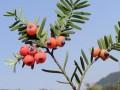 黑龙江红豆杉苗木栽培技术 (227播放)