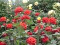 花卉栽培技术-月季 (147播放)