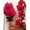 40万棵玫瑰红紫薇美国红紫薇扦插苗