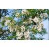 山东鲁彩苗木供应2-50公分精品国槐、优质裸根国槐、国槐小苗