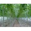 山东鲁彩苗木供应优质白蜡、各种规格白蜡、精品白蜡小苗