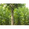 山东鲁彩苗木特供优质法桐、10-40公分法桐、精品法桐小苗