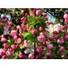 山东菏泽苗木供应西府海棠、2-30公分西府海棠、优质西府海棠