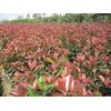 苗木供应红叶石楠