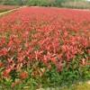 杭州红叶石楠小苗价格、杭州红叶石楠球大量供应、江苏沭禾园艺场