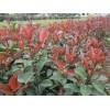 马鞍山红叶石楠小苗价格、马鞍山红叶石楠球大量供应、江苏沭禾园艺场