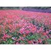 吉安红叶石楠小苗价格、吉安红叶石楠球大量供应、江苏沭禾园艺场