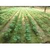 泉州银杏批发基地、泉州银杏出售处理、江苏铁富银杏苗圃场