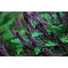 兰州紫穗槐批发基地、兰州紫穗槐出售处理、河南民权绿洲苗木