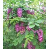 金昌紫穗槐批发基地、金昌紫穗槐出售处理、河南民权绿洲苗木