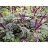 新疆紫穗槐小苗价格、新疆紫穗槐大量供应、河南民权绿洲苗木