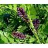 大同紫穗槐批发基地、大同紫穗槐出售处理、河南民权绿洲苗木