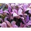 绵阳彩色桂小苗价格、绵阳新品种桂花大量供应、成都四季花语生态农业