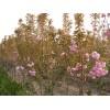 青岛樱花小苗价格、青岛樱花大量供应、山东泰安天华园林