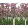赣州樱花小苗价格、赣州樱花大量供应、山东泰安天华园林