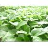 晋城白玉簪小苗价格、晋城白玉簪大量供应、山东正丰花木场