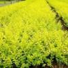 水腊 金叶水腊 胶东卫矛 朝鲜黄杨 大叶黄杨 小叶黄杨 红叶小檗