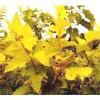 金叶风箱果,紫叶风箱果,金叶接骨木,金叶连翘,金叶莸